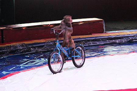 猴子骑自行车-俄罗斯皇家大马戏首演在淮南国际汽配城落幕图片